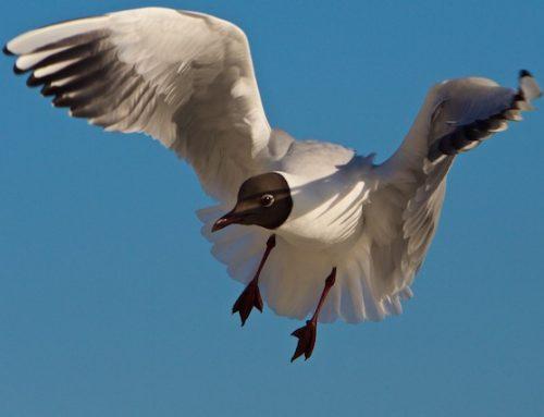 Is mest-injectie netto slechter voor weidevogels dan 'de intensivering'?