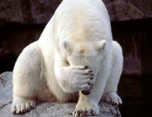 Nieuwe aflevering van de ijsberensoap